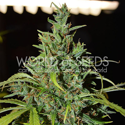 World of Seeds - Neville's Haze Auto